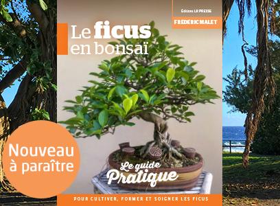 Le ficus en bonsaï disponible en décembre ! Frais de port offerts jusqu'au 05 décembre